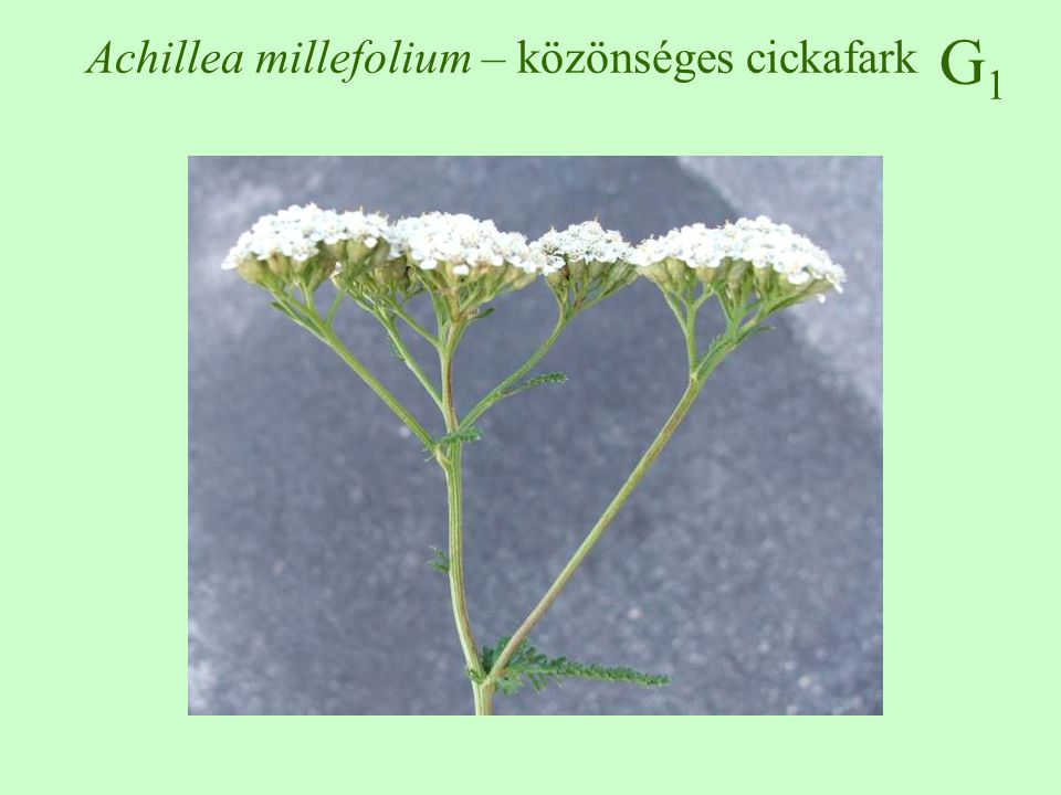 G1G1 Elymus repens – tarackbúza
