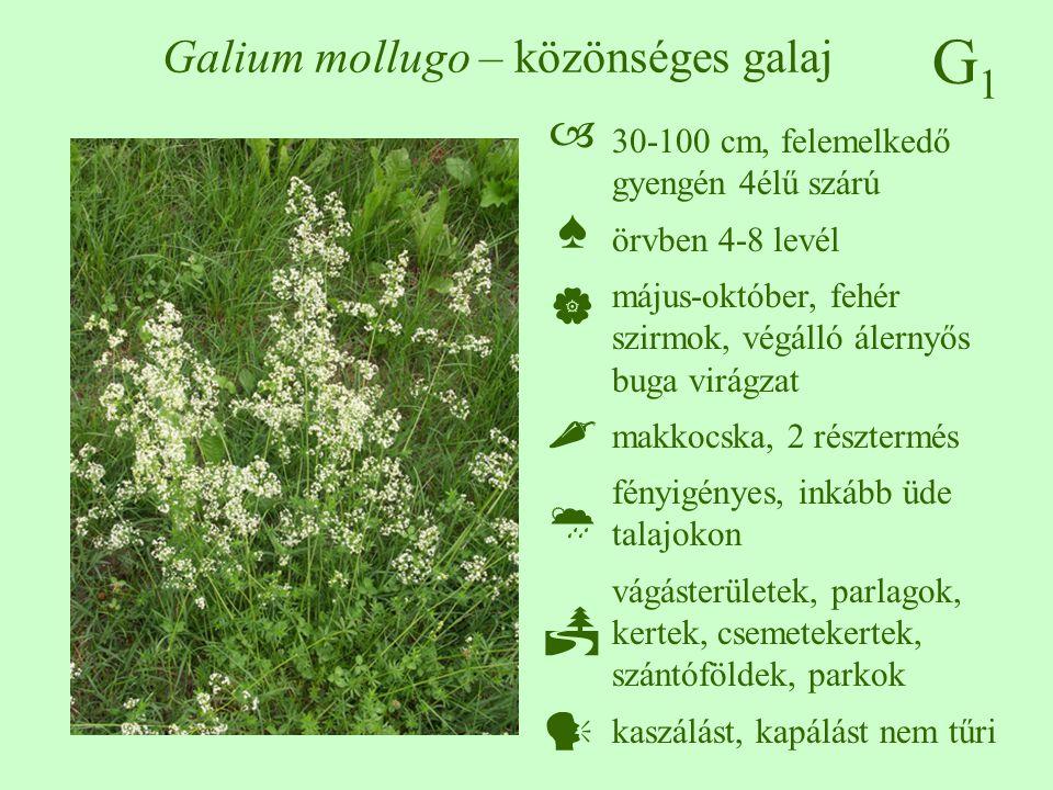G1G1 Galium mollugo – közönséges galaj 30-100 cm, felemelkedő gyengén 4élű szárú örvben 4-8 levél május-október, fehér szirmok, végálló álernyős buga