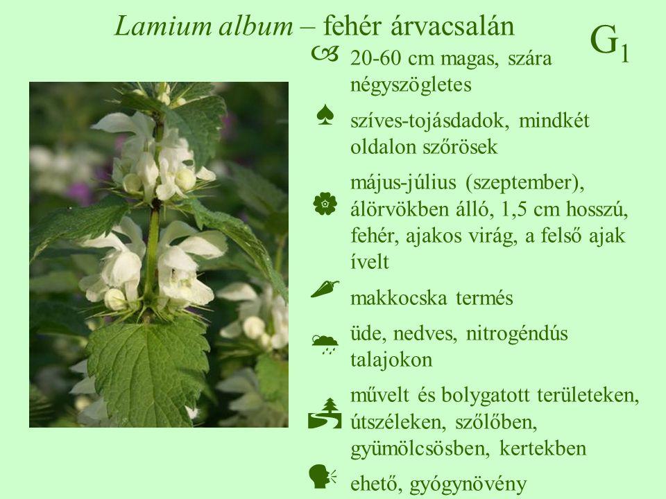 G1G1 Lamium album – fehér árvacsalán 20-60 cm magas, szára négyszögletes szíves-tojásdadok, mindkét oldalon szőrösek május-július (szeptember), álörvö