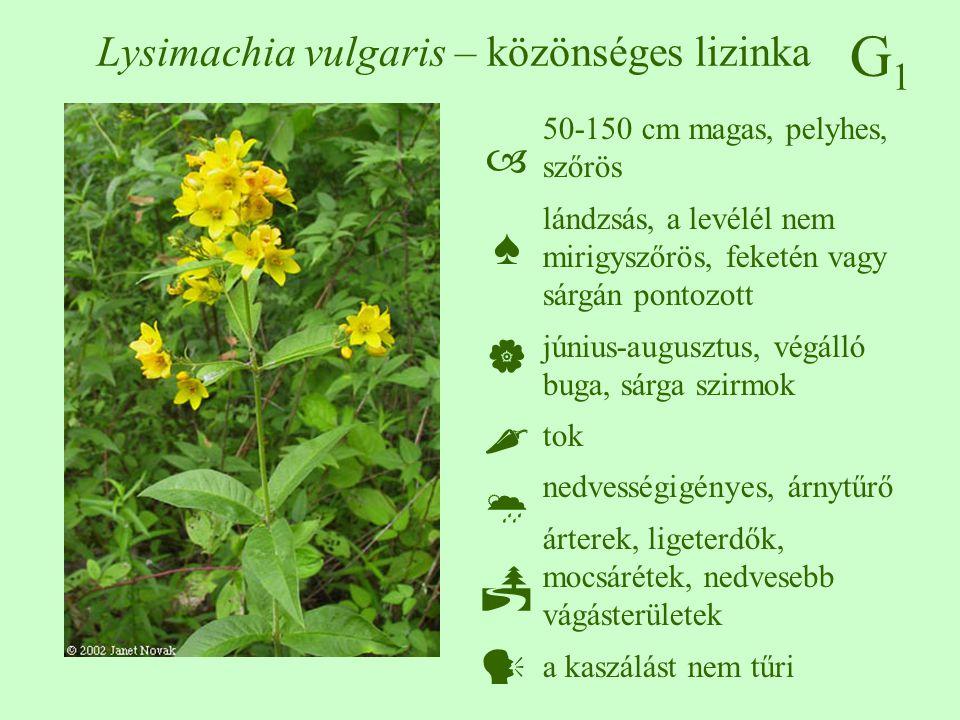 G1G1 Lysimachia vulgaris – közönséges lizinka 50-150 cm magas, pelyhes, szőrös lándzsás, a levélél nem mirigyszőrös, feketén vagy sárgán pontozott jún