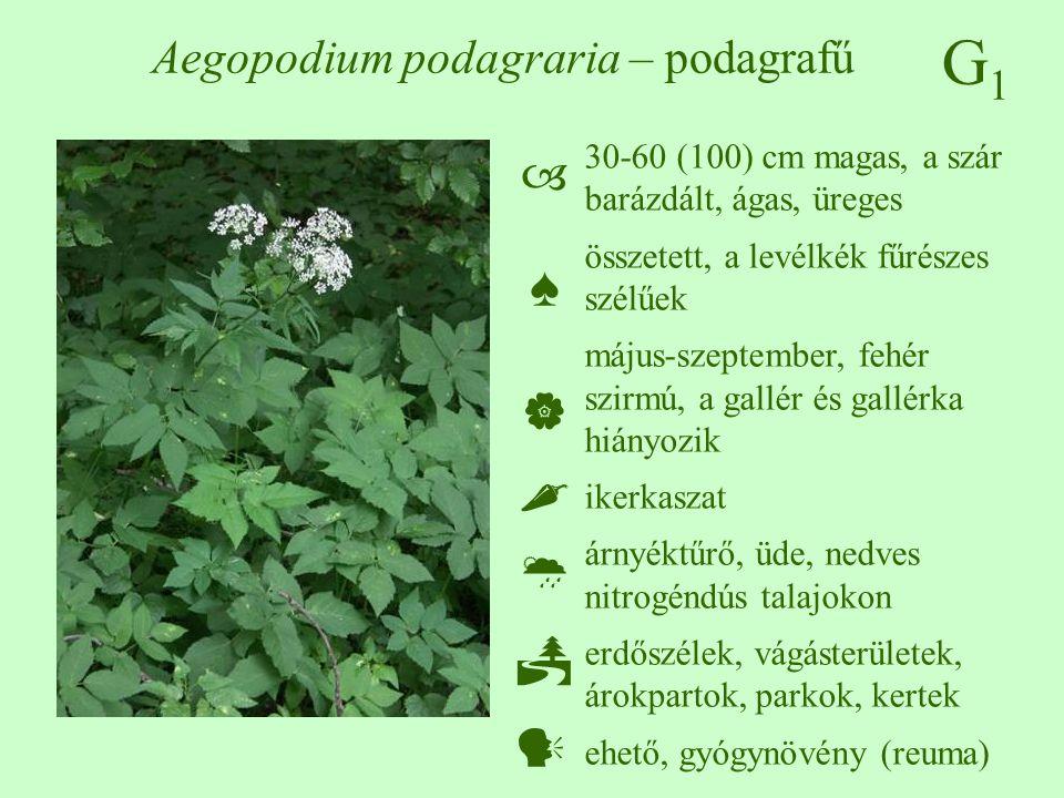 G1G1 Aegopodium podagraria – podagrafű 30-60 (100) cm magas, a szár barázdált, ágas, üreges összetett, a levélkék fűrészes szélűek május-szeptember, f