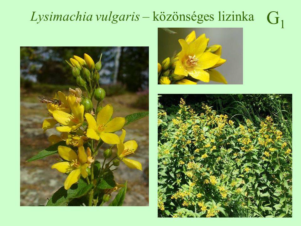 G1G1 Lysimachia vulgaris – közönséges lizinka