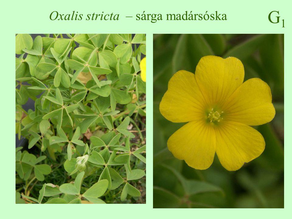 G1G1 Oxalis stricta – sárga madársóska