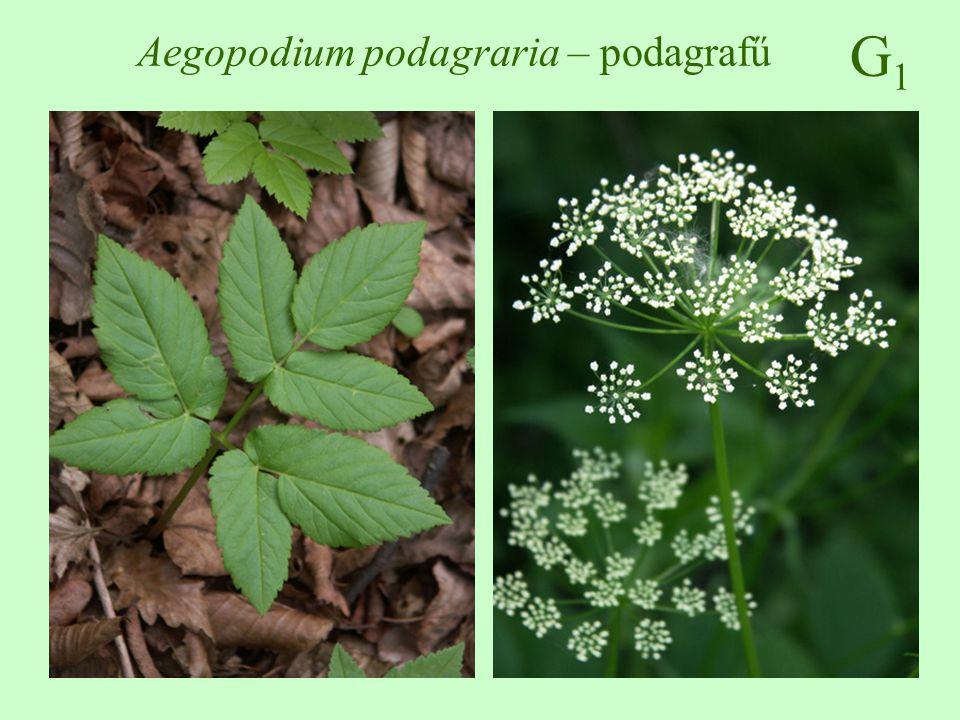 G1G1 Epilobium hirsutum – borzas füzike 50-200 cm magas, bozontosan szőrös és/vagy mirigyszőrös keresztben átellenes, elliptikus – lándzsás, 1-12 cm hosszú június-augusztus, bíbor virágú fürt toktermés, repítőszőrös magvak üde-nedves talajokon vágásterületek, erdőszélek, magaskórósok, mocsárrétek, erdei utak mente ♠♠