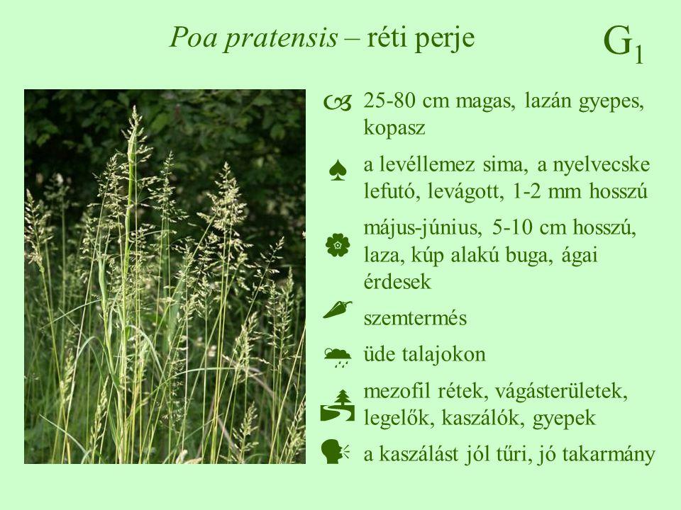 G1G1 Poa pratensis – réti perje 25-80 cm magas, lazán gyepes, kopasz a levéllemez sima, a nyelvecske lefutó, levágott, 1-2 mm hosszú május-június, 5-1