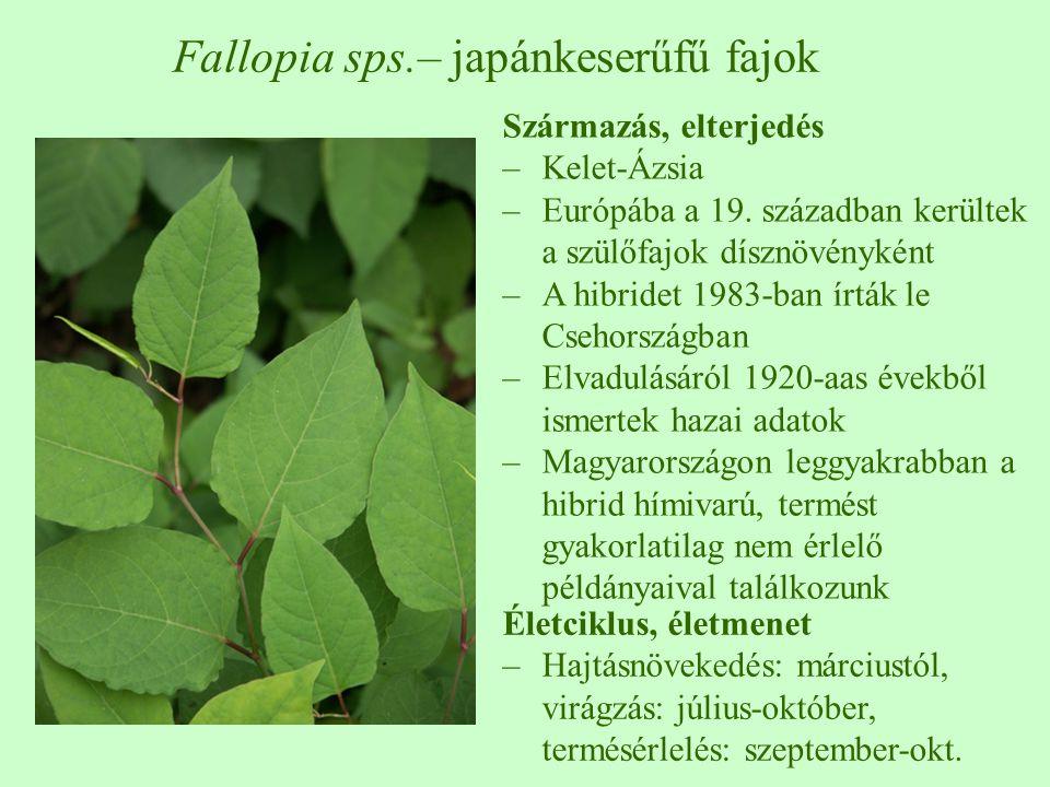 Származás, elterjedés –Kelet-Ázsia –Európába a 19. században kerültek a szülőfajok dísznövényként –A hibridet 1983-ban írták le Csehországban –Elvadul