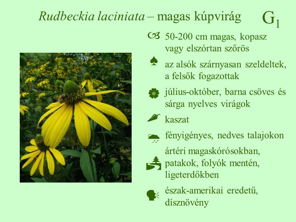 G1G1 Rudbeckia laciniata – magas kúpvirág 50-200 cm magas, kopasz vagy elszórtan szőrös az alsók szárnyasan szeldeltek, a felsők fogazottak július-okt