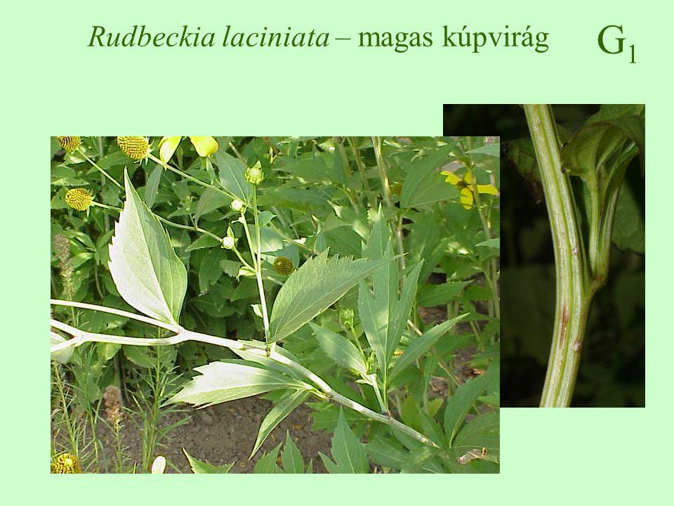 G1G1 Rudbeckia laciniata – magas kúpvirág ♠♠