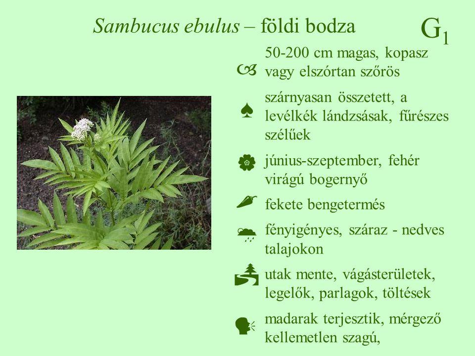 G1G1 Sambucus ebulus – földi bodza 50-200 cm magas, kopasz vagy elszórtan szőrös szárnyasan összetett, a levélkék lándzsásak, fűrészes szélűek június-