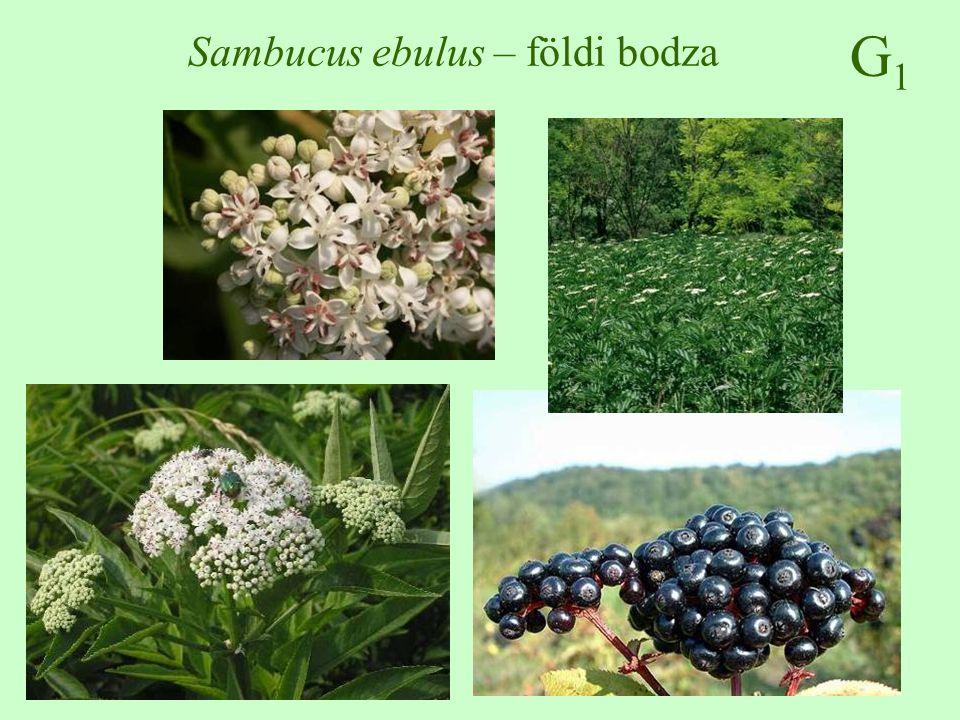 G1G1 Sambucus ebulus – földi bodza