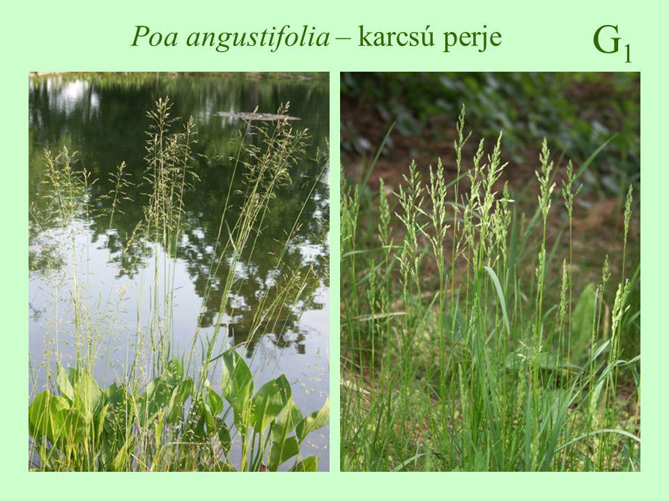 G1G1 Urtica dioica – nagy csalán 30-150 cm magas, egyszerű és fullánkszőrös, kétlaki keresztben átellenes, tojásdad, fűrészes szélű május-október, füzérvirágzat makkocska üde - nedves, nitrogéndús talajokon üde, nedves erdők, ligeterdők, magaskórósok, árokpartok gyógy-növény: vértisztító, reuma, fogyasztható  ♠    