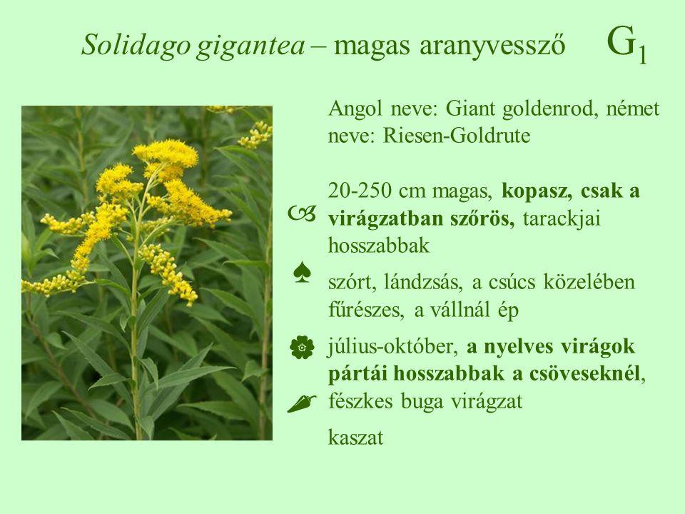 G1G1 Solidago gigantea – magas aranyvessző Angol neve: Giant goldenrod, német neve: Riesen-Goldrute 20-250 cm magas, kopasz, csak a virágzatban szőrös