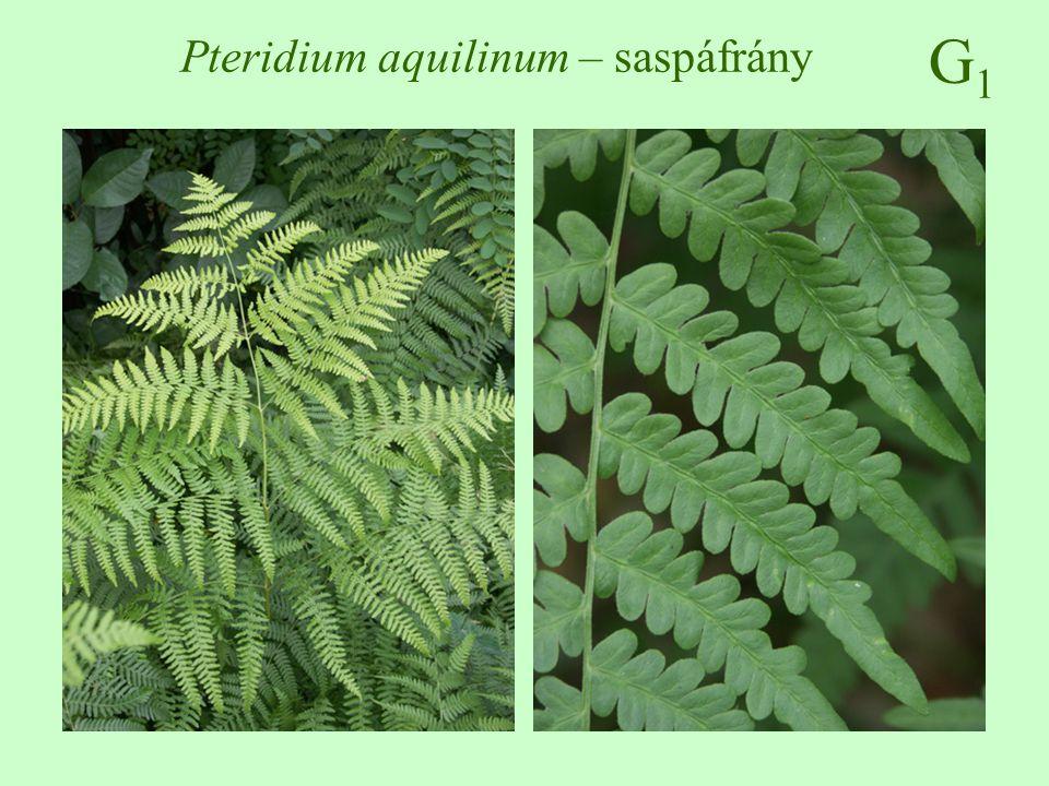 G1G1 Pteridium aquilinum – saspáfrány