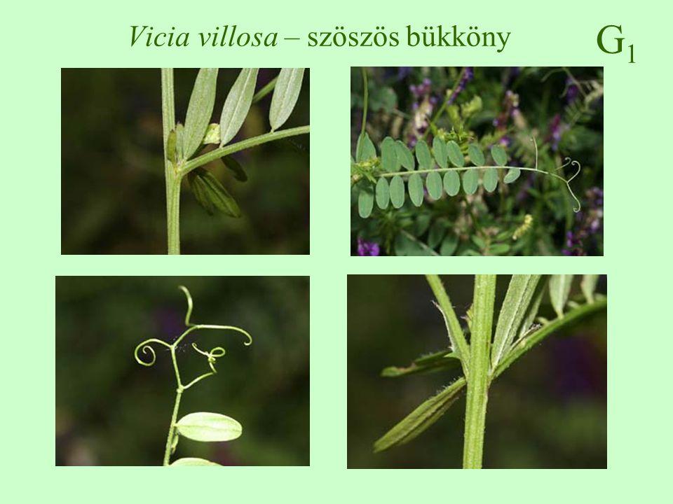 G1G1 Vicia villosa – szöszös bükköny