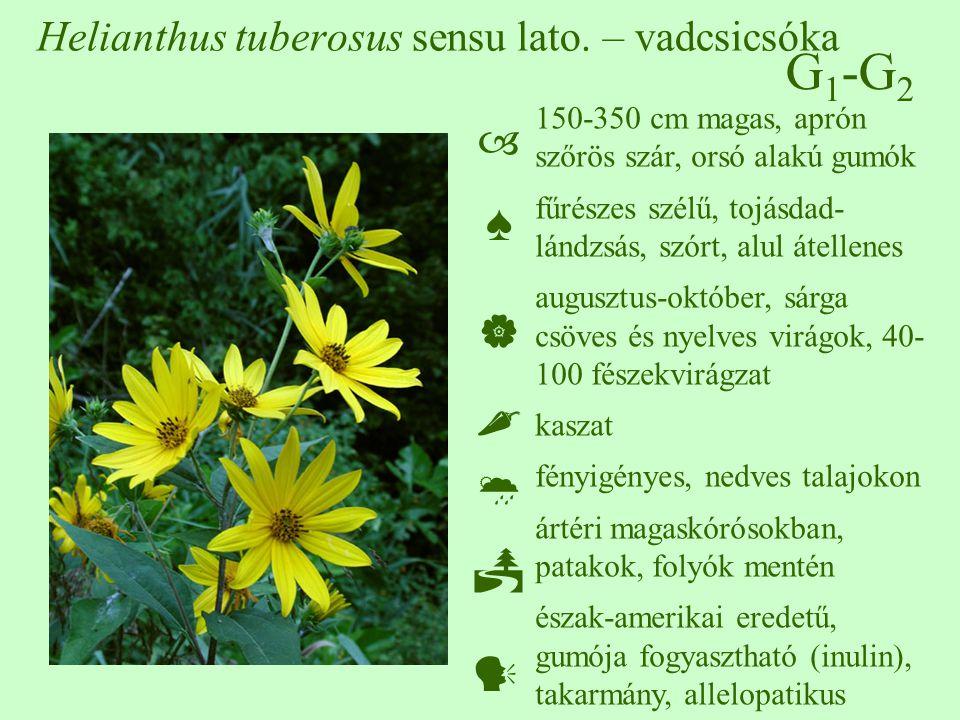 G 1 -G 2 Helianthus tuberosus sensu lato. – vadcsicsóka 150-350 cm magas, aprón szőrös szár, orsó alakú gumók fűrészes szélű, tojásdad- lándzsás, szór