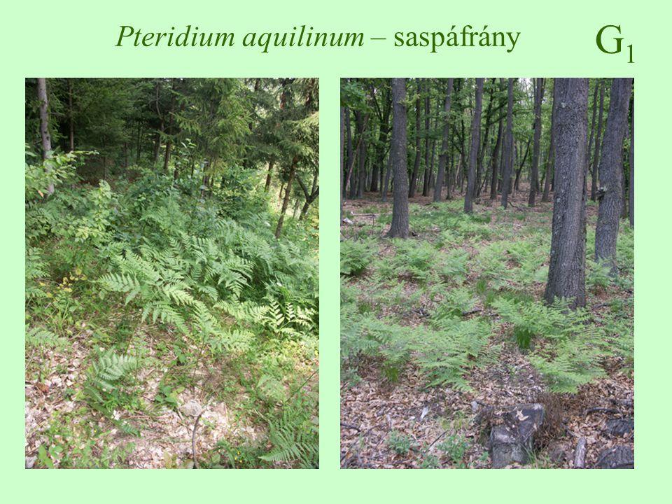 G3G3 Asclepias syriaca – selyemkóró Népi neve: vaddohány, angol neve: common milkweed, német neve: Syrische Seidenpflanzen Morfológiája: 80-150 cm, mérgező tejnedvet tartalmaz, szőrös szárú, vízszintes gyökerek 10-40 cm mélyen haladnak (3,8 m) keresztben átellenes, elliptikus, 10-25 cm hosszú, a fonák molyhos június-augusztus, dús levélhónalji bogernyő, húsvörös - rózsaszín (fehéres) párta, mellékpárta 10 cm-es ikertüszőtermés, repítőkészülékes magvak ♠♠