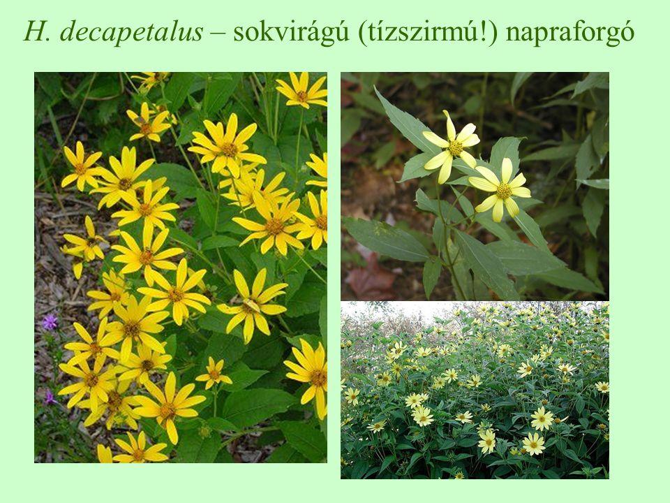 H. decapetalus – sokvirágú (tízszirmú!) napraforgó