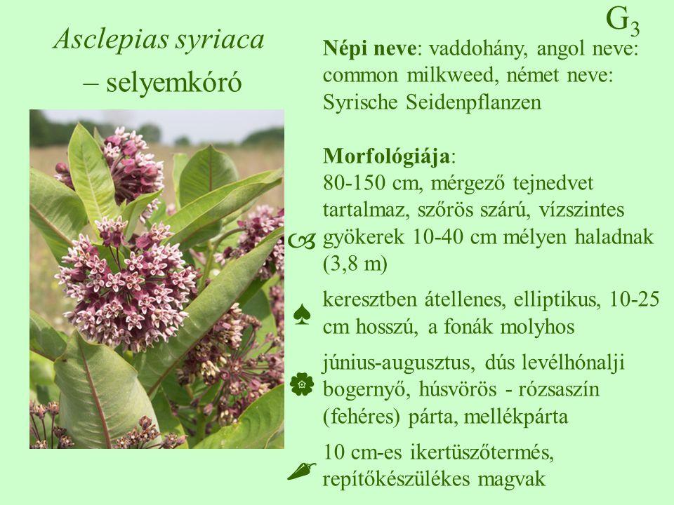 G3G3 Asclepias syriaca – selyemkóró Népi neve: vaddohány, angol neve: common milkweed, német neve: Syrische Seidenpflanzen Morfológiája: 80-150 cm, mé