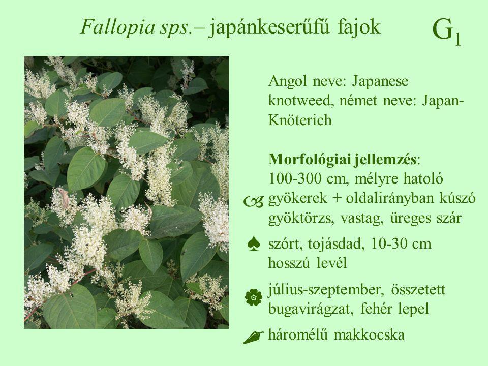 G1G1 Fallopia sps.– japánkeserűfű fajok Angol neve: Japanese knotweed, német neve: Japan- Knöterich Morfológiai jellemzés: 100-300 cm, mélyre hatoló g