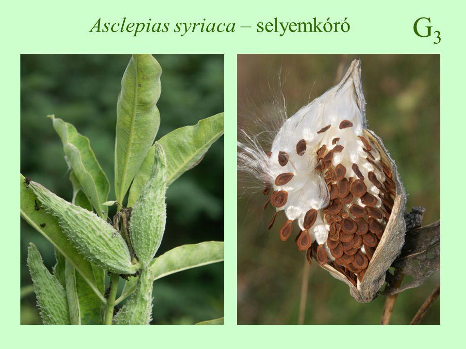 G3G3 Asclepias syriaca – selyemkóró