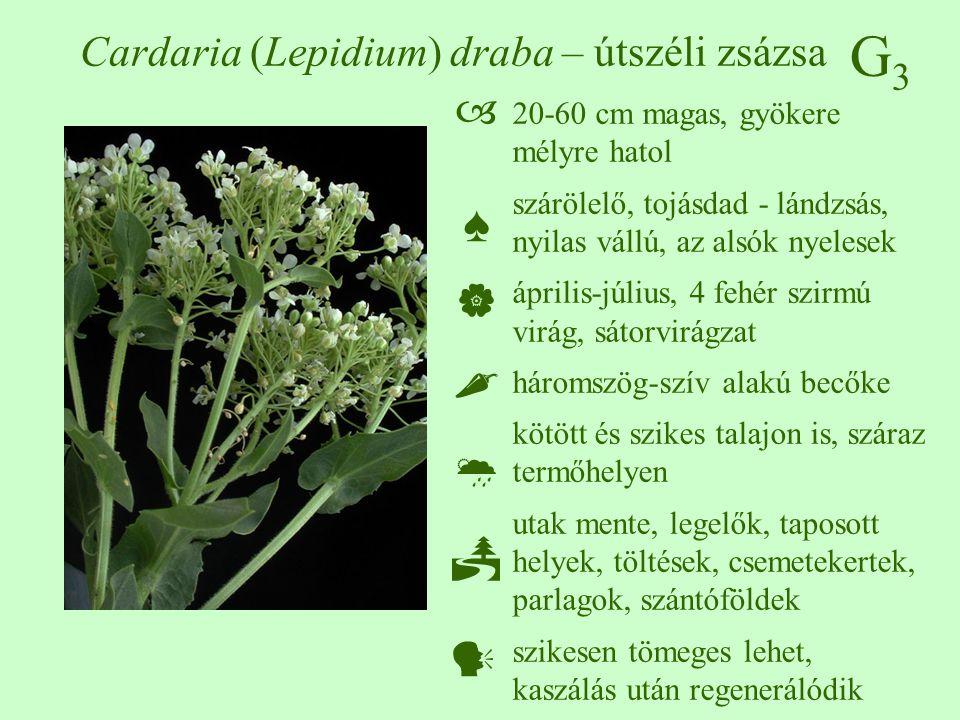 G3G3 Cardaria (Lepidium) draba – útszéli zsázsa 20-60 cm magas, gyökere mélyre hatol szárölelő, tojásdad - lándzsás, nyilas vállú, az alsók nyelesek á
