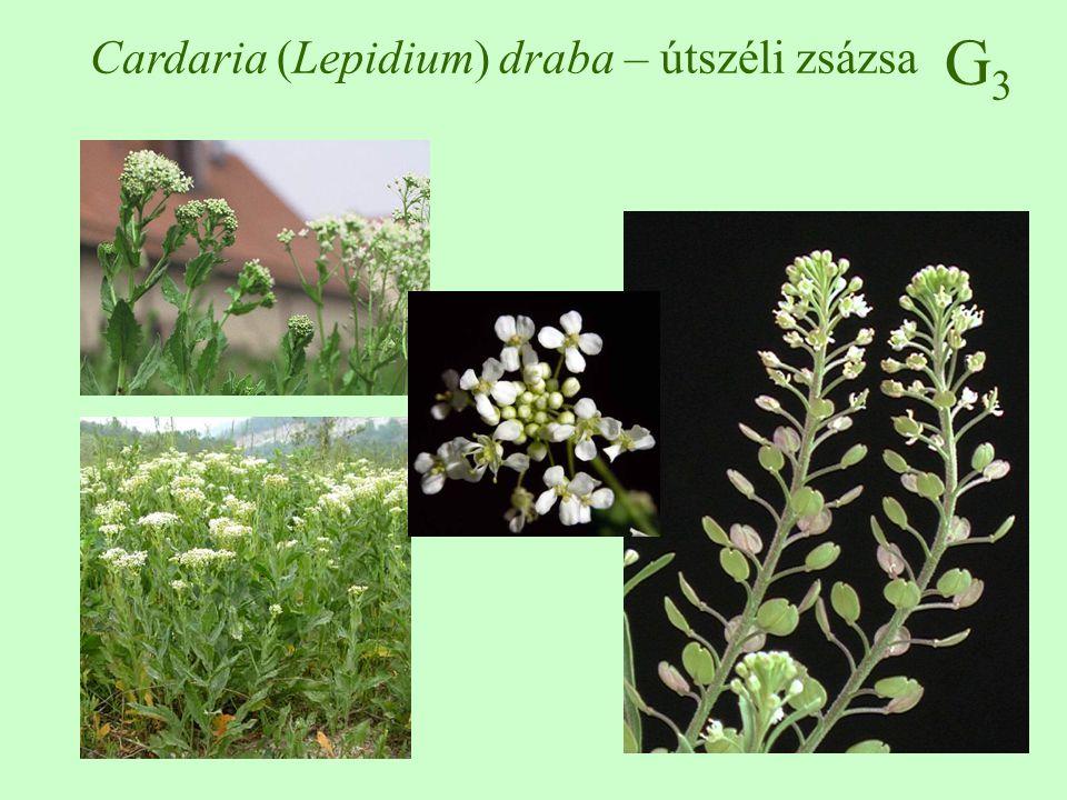 G3G3 Cardaria (Lepidium) draba – útszéli zsázsa