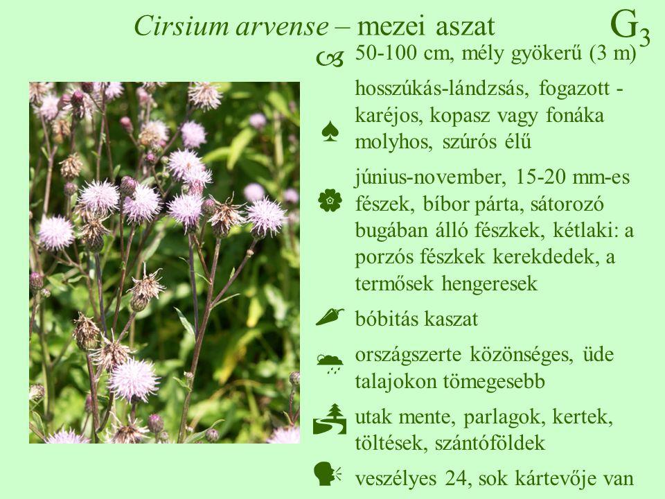 G3G3 Cirsium arvense – mezei aszat 50-100 cm, mély gyökerű (3 m) hosszúkás-lándzsás, fogazott - karéjos, kopasz vagy fonáka molyhos, szúrós élű június