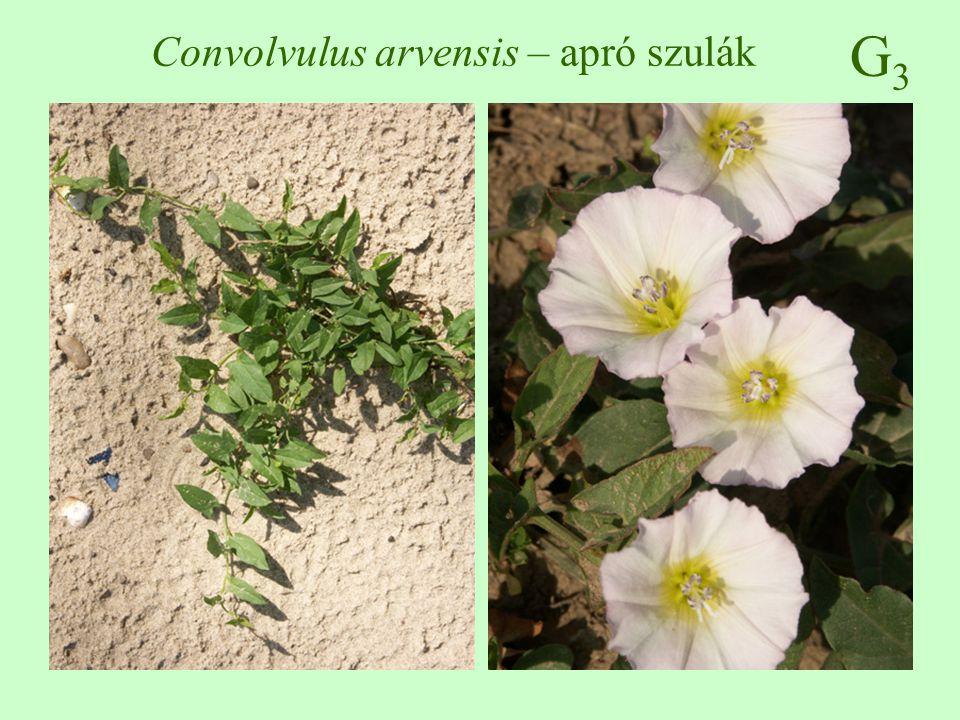 G3G3 Convolvulus arvensis – apró szulák