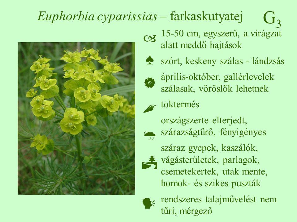 G3G3 Euphorbia cyparissias – farkaskutyatej 15-50 cm, egyszerű, a virágzat alatt meddő hajtások szórt, keskeny szálas - lándzsás április-október, gall