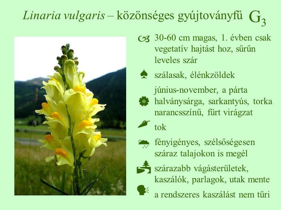 G3G3 Linaria vulgaris – közönséges gyújtoványfű 30-60 cm magas, 1. évben csak vegetatív hajtást hoz, sűrűn leveles szár szálasak, élénkzöldek június-n