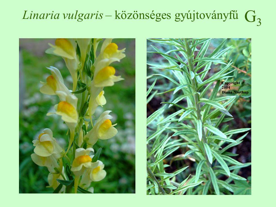 G3G3 Linaria vulgaris – közönséges gyújtoványfű