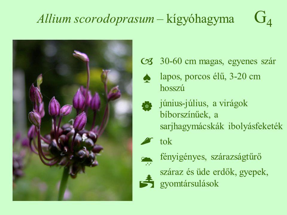G4G4 Allium scorodoprasum – kígyóhagyma ♠♠ 30-60 cm magas, egyenes szár lapos, porcos élű, 3-20 cm hosszú június-július, a virágok bíborszín