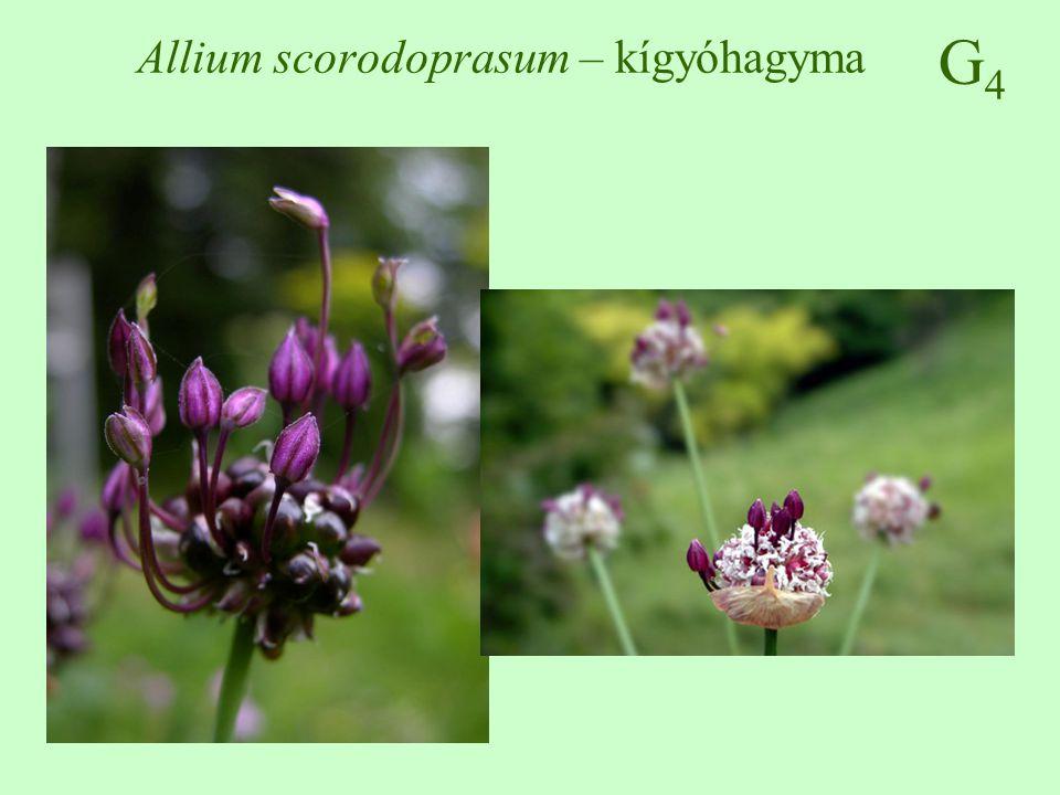 G4G4 Allium scorodoprasum – kígyóhagyma