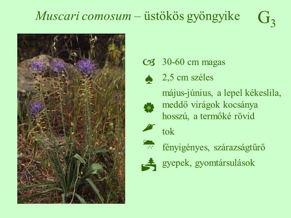 G3G3 Muscari comosum – üstökös gyöngyike ♠♠ 30-60 cm magas 2,5 cm széles május-június, a lepel kékeslila, meddő virágok kocsánya hosszú, a t