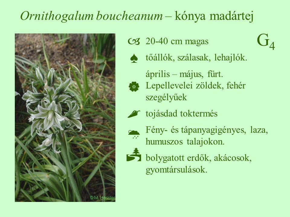 G4G4 20-40 cm magas tőállók, szálasak, lehajlók. április – május, fürt. Lepellevelei zöldek, fehér szegélyűek tojásdad toktermés Fény- és tápanyagigén