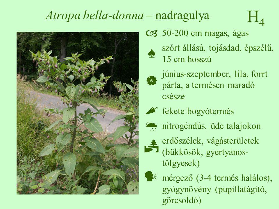 H4H4 Atropa bella-donna – nadragulya 50-200 cm magas, ágas szórt állású, tojásdad, épszélű, 15 cm hosszú június-szeptember, lila, forrt párta, a termésen maradó csésze fekete bogyótermés nitrogéndús, üde talajokon erdőszélek, vágásterületek (bükkösök, gyertyános- tölgyesek) mérgező (3-4 termés halálos), gyógynövény (pupillatágító, görcsoldó)  ♠    