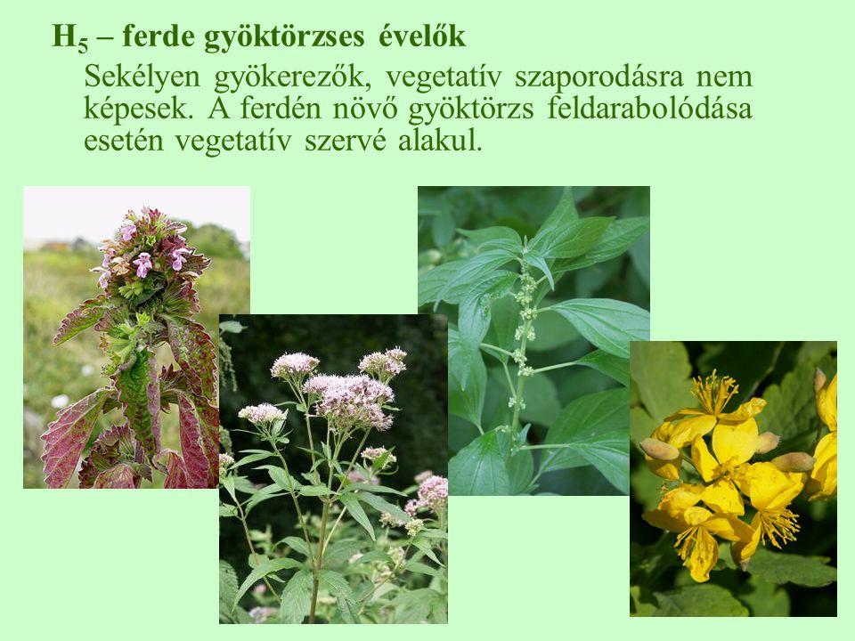H 5 – ferde gyöktörzses évelők Sekélyen gyökerezők, vegetatív szaporodásra nem képesek.