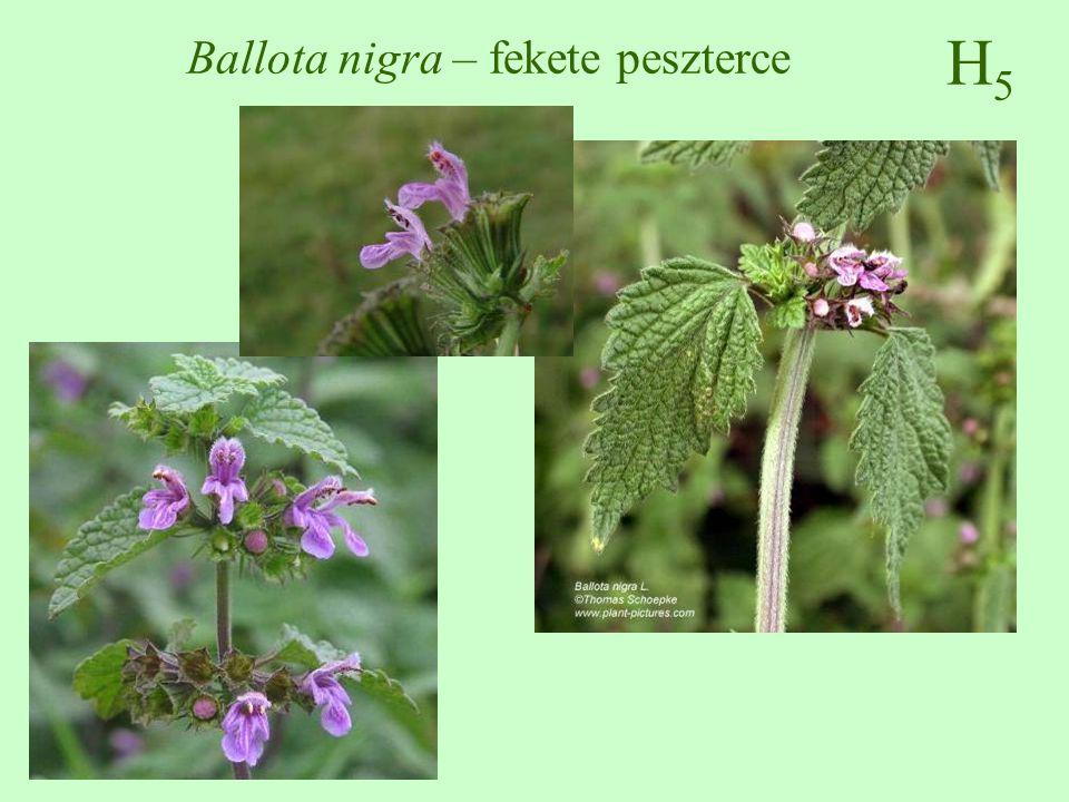 H5H5 Ballota nigra – fekete peszterce