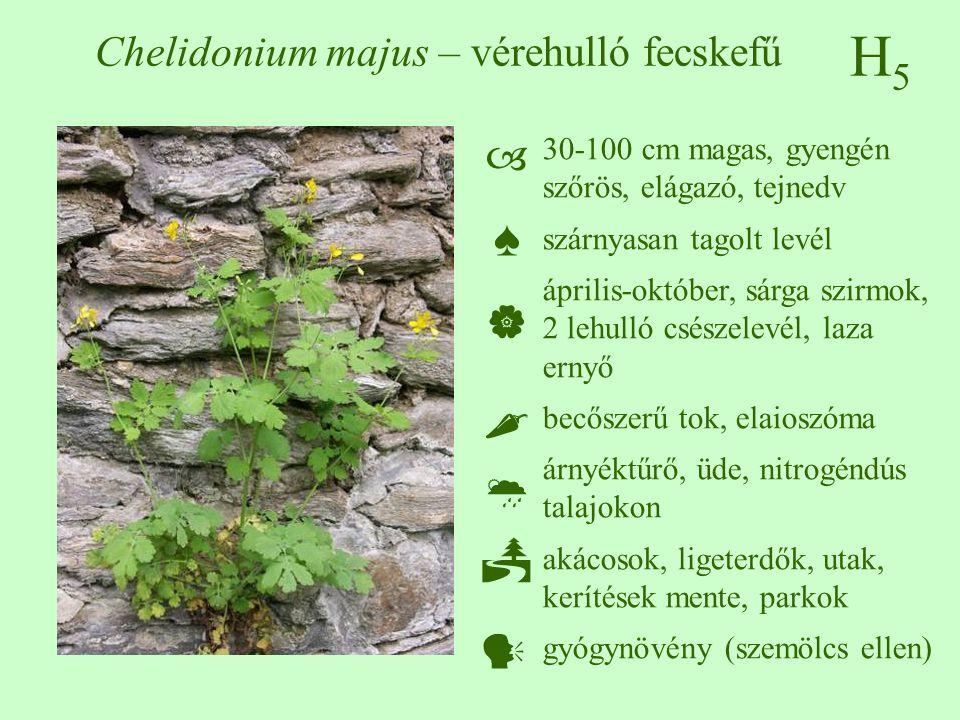 H5H5 Chelidonium majus – vérehulló fecskefű 30-100 cm magas, gyengén szőrös, elágazó, tejnedv szárnyasan tagolt levél április-október, sárga szirmok, 2 lehulló csészelevél, laza ernyő becőszerű tok, elaioszóma árnyéktűrő, üde, nitrogéndús talajokon akácosok, ligeterdők, utak, kerítések mente, parkok gyógynövény (szemölcs ellen)  ♠    