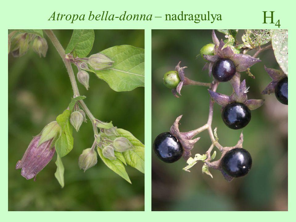 -Farmakológiai hatás: a benne lévő atropin az acetilkolin hatását gátolja, pupillatágító, csökkenti a simaizom görcskészségét, és a szekréciót.