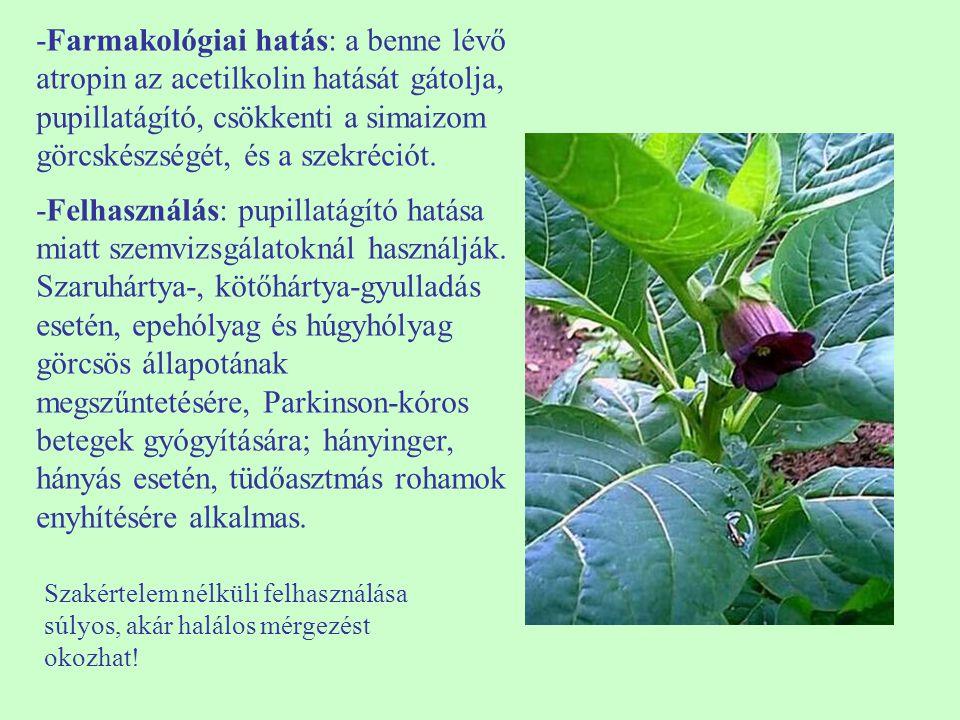 H4H4 Eryngium campestre – mezei iringó 30-60 cm magas, félgömb alakú, kopasz, szürkés, hosszú gyökerű kemény, szeldelt, fogazott július-október, fehér virágú fejecske, merev murvalevelek ikerkaszat fényigényes, száraz talajokon is megél száraz gyepek, legelők, parlagok, utak mente ördögszekér, a szél görgeti a kórót, hurutoldó, vizelethajtó  ♠    