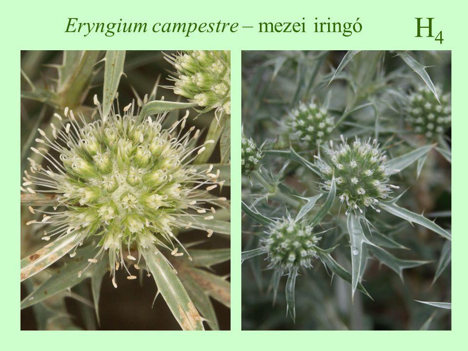 H5H5 Parietaria officinalis – falgyom 30-100 cm magas, nem elágazó, rövid szőrös ékvállú, épszélű, lándzsás, elliptikus június-október, levélhónalji gomoly, zöld lepel, egy- és kétivarú virágok makkocska árnyéktűrő, üde, nitrogéndús talajokon üde, nedves erdők, ligeterdők, szurdokerdők, kertek, istállók közelében ♠♠