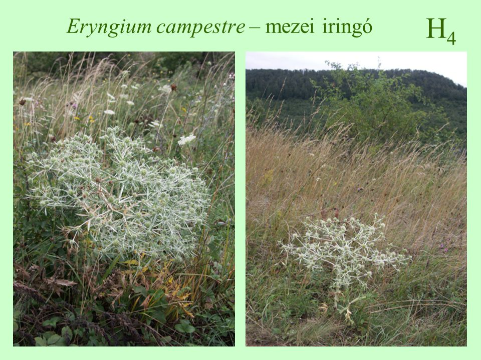 H5H5 Ballota nigra – fekete peszterce 30-80 cm magas, szára négyszögletes, bozontos szőrös az alsók csipkések, kerekdedek, a felsők szíves-tojásdadok, fűrészesek június-november, álörvökben rózsaszínű ajakos virágok, a felső ajak kicsípett, szőrös makkocska termés nitrofil, száraz, meleg, de kissé árnyékos helyeken is akácosok, utak mente, parlagok, erdőszélek nem tömeges, de gyakori  ♠    