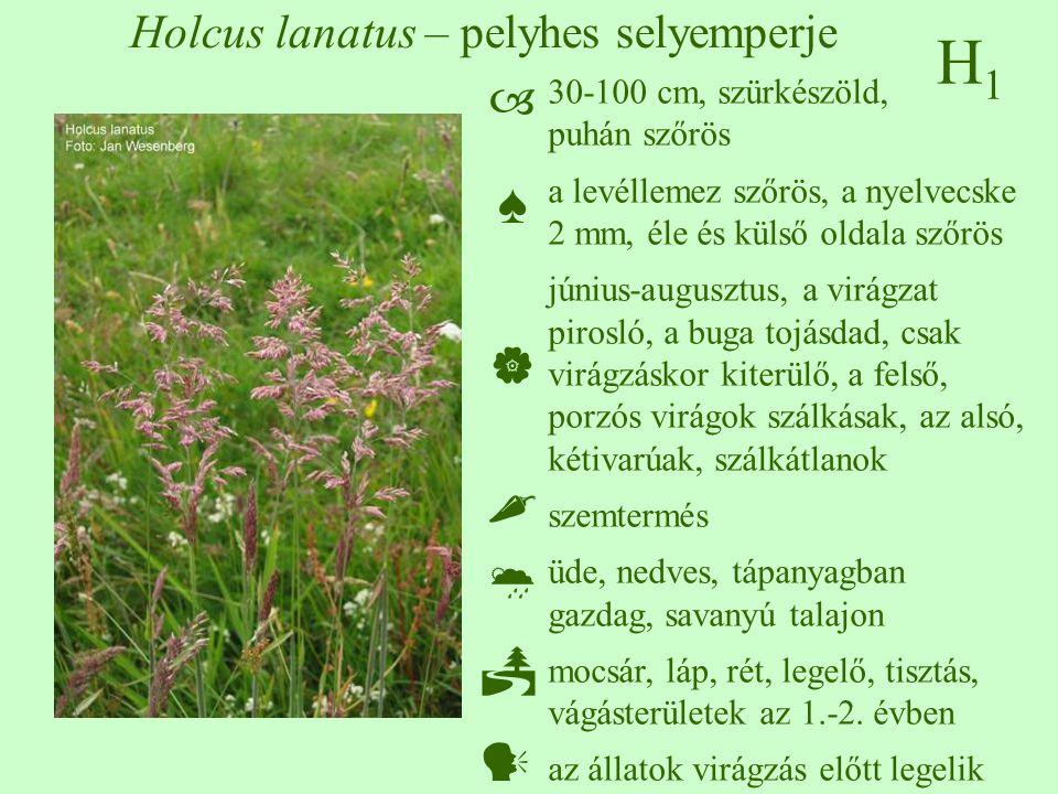 H1H1 Holcus lanatus – pelyhes selyemperje 30-100 cm, szürkészöld, puhán szőrös a levéllemez szőrös, a nyelvecske 2 mm, éle és külső oldala szőrös június-augusztus, a virágzat pirosló, a buga tojásdad, csak virágzáskor kiterülő, a felső, porzós virágok szálkásak, az alsó, kétivarúak, szálkátlanok szemtermés üde, nedves, tápanyagban gazdag, savanyú talajon mocsár, láp, rét, legelő, tisztás, vágásterületek az 1.-2.