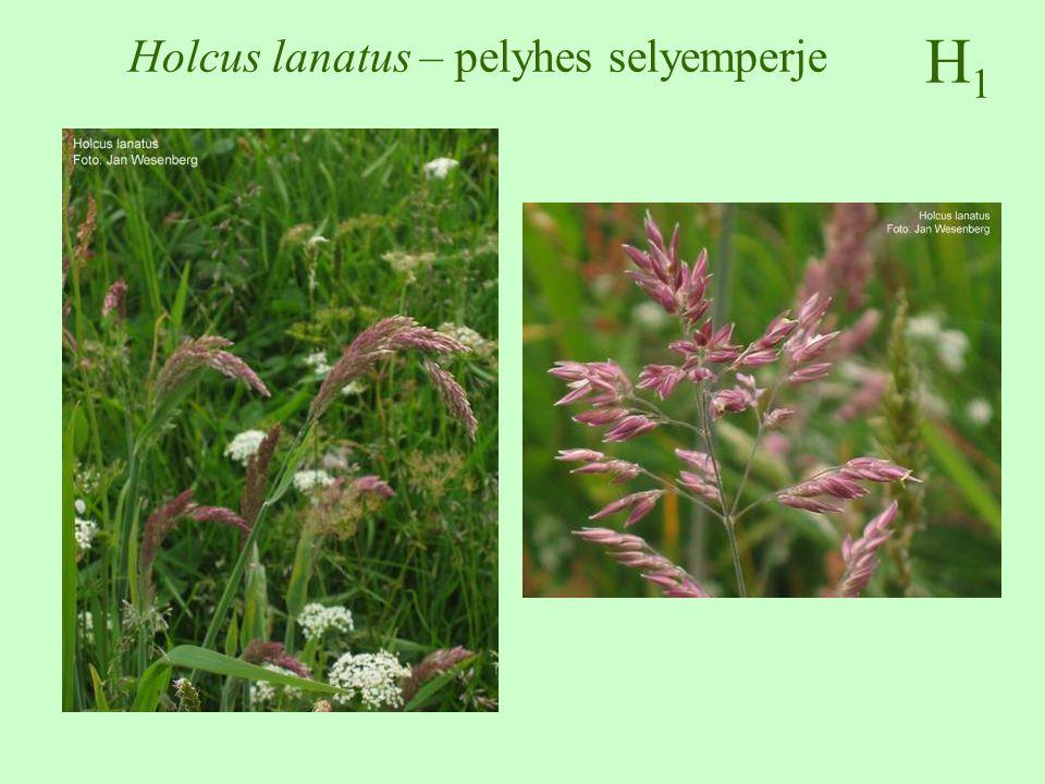 H1H1 Holcus lanatus – pelyhes selyemperje