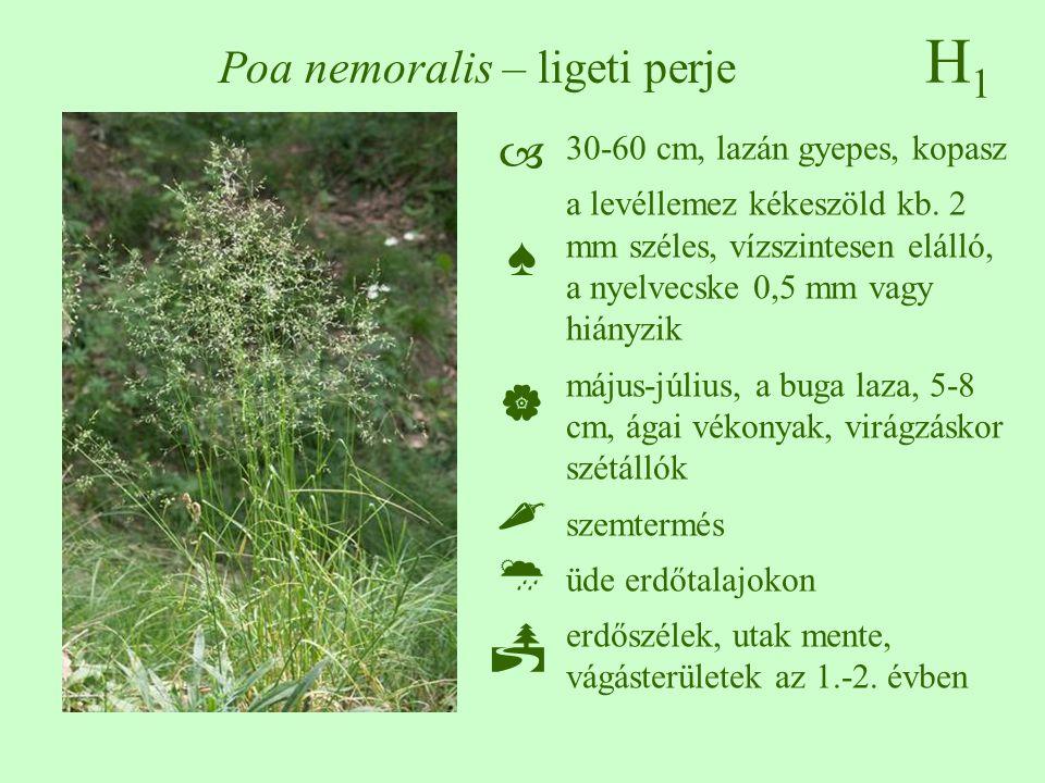 H1H1 Poa nemoralis – ligeti perje 30-60 cm, lazán gyepes, kopasz a levéllemez kékeszöld kb.