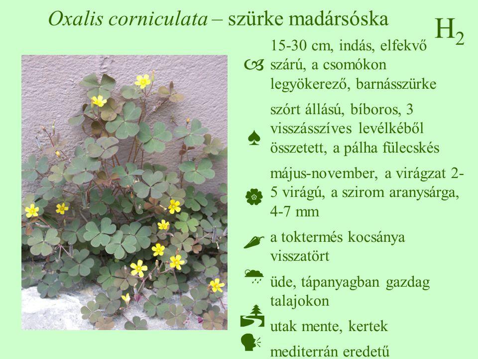 H2H2 Oxalis corniculata – szürke madársóska 15-30 cm, indás, elfekvő szárú, a csomókon legyökerező, barnásszürke szórt állású, bíboros, 3 visszásszíves levélkéből összetett, a pálha fülecskés május-november, a virágzat 2- 5 virágú, a szirom aranysárga, 4-7 mm a toktermés kocsánya visszatört üde, tápanyagban gazdag talajokon utak mente, kertek mediterrán eredetű  ♠    