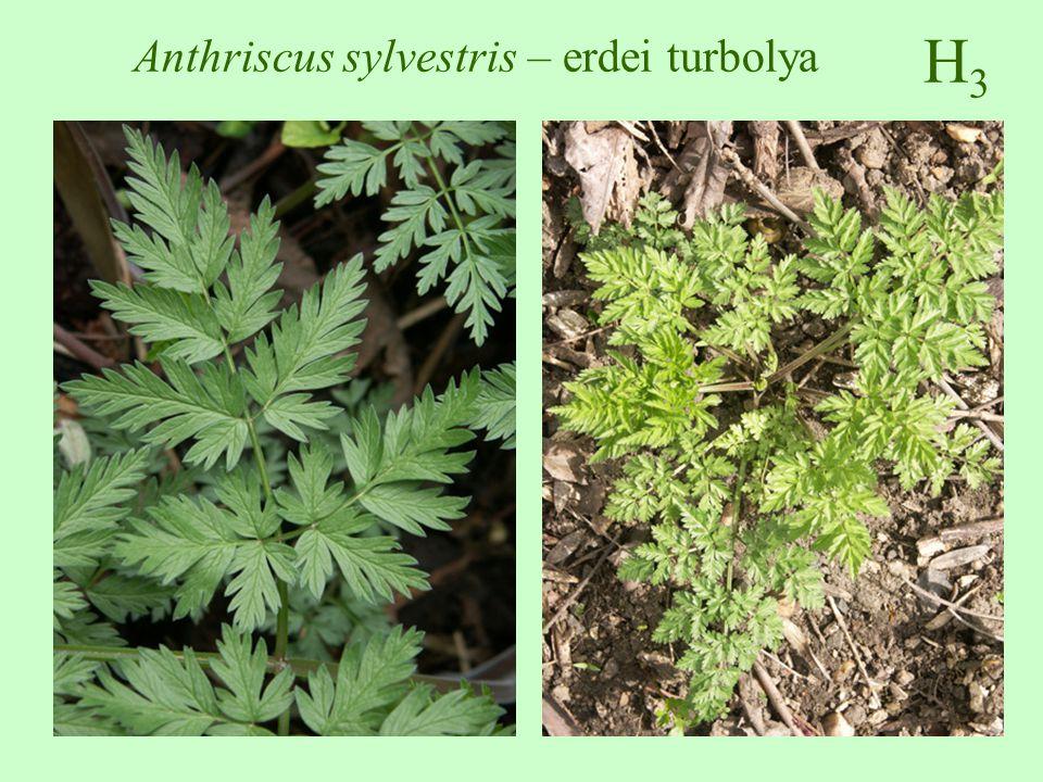 H3H3 Anthriscus sylvestris – erdei turbolya