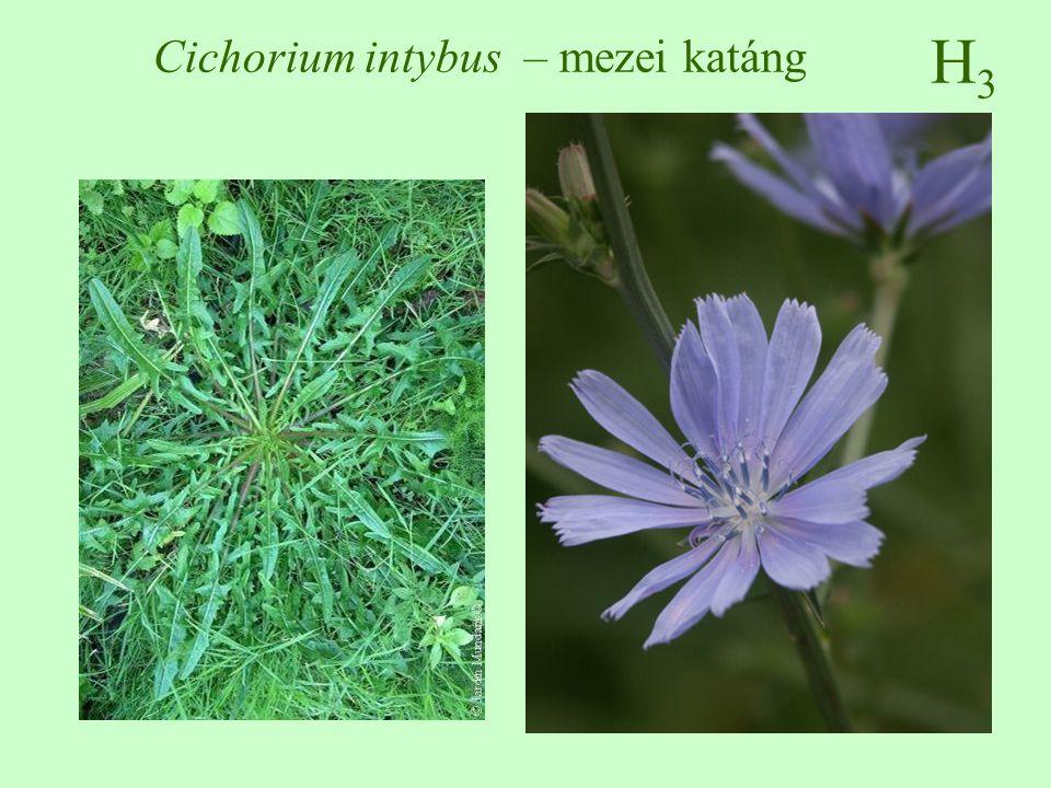 H3H3 Cichorium intybus – mezei katáng