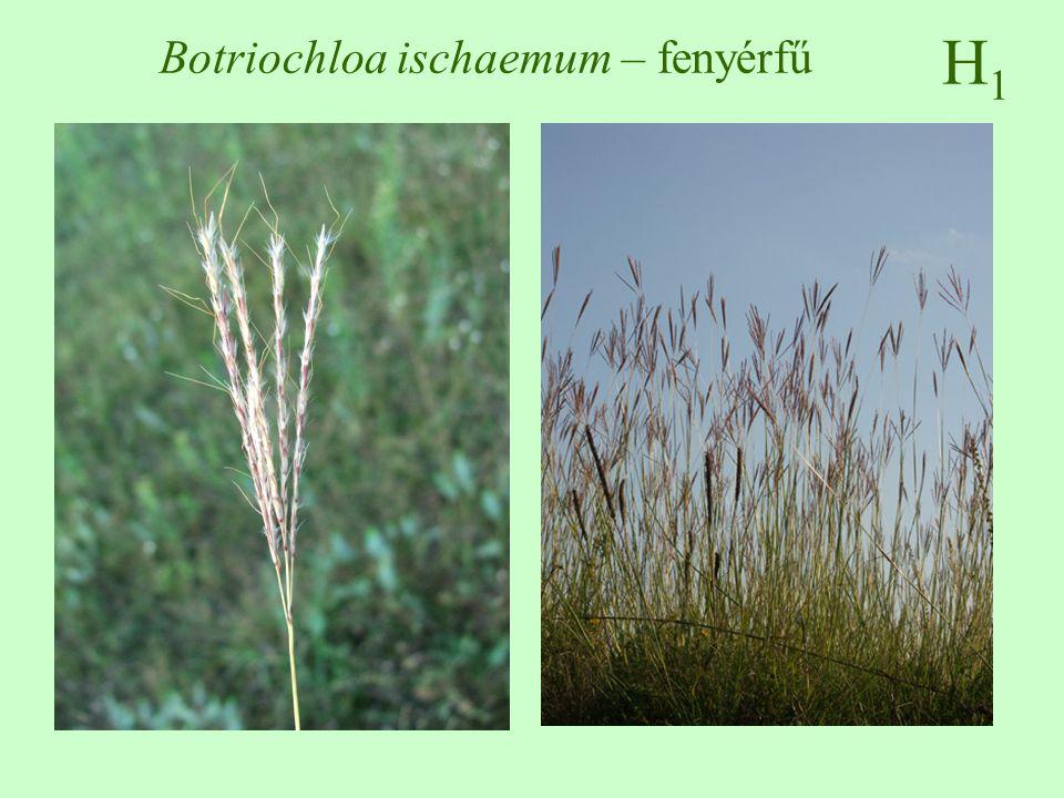 H1H1 Botriochloa ischaemum – fenyérfű